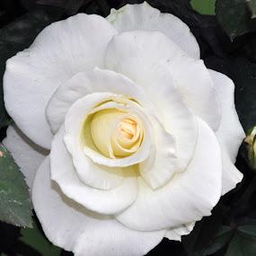 WHITE ROSE SINGLE #2 by Debanjan Goswami - Flowers Single Flower (  )