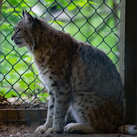 Bobcat by Laurie Crosson - Animals - Cats Portraits ( cat, bobcat, sad, beautiful, captive )