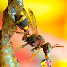 Wasp 150406A by Carrot Lim - Animals Insects & Spiders (  )