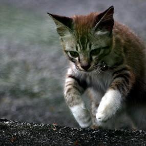Jump by Nadzli Azlan - Animals - Cats Portraits