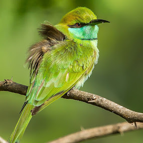 Green Bee-eater by S Balaji - Animals Birds ( wild, animals, balaji, nature, s, green bee-eater, birds )