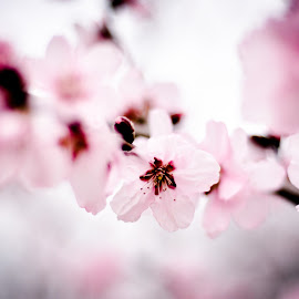 Cherry blossoms by Alexandru Nita - Flowers Tree Blossoms ( cheery, fuzzy, roz, pink, blossoms, flori, soft, ciresi )