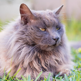Skew mouth by Jacquiline Van Ghent - Animals - Cats Portraits ( forest cat, cat, fluffy, side, maine coon, fur, grey, hair, garden, portrait, eyes )