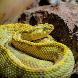 Hangin' Out by Kevin Mummau - Animals Reptiles ( snake, curl, yellow, albino, snakes )