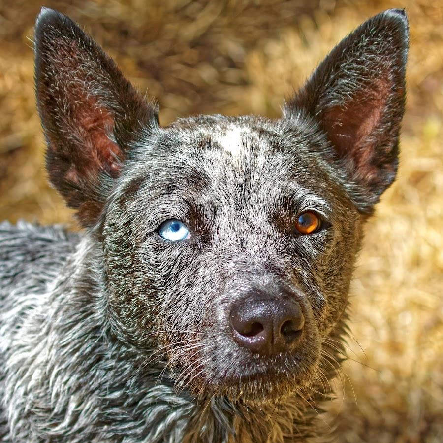 Dog 865 by Raphael RaCcoon - Animals - Dogs Portraits