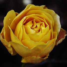 Yellow Rose by Sarah Harding - Novices Only Flowers & Plants ( colour, novices only, yellow, close up, flower )
