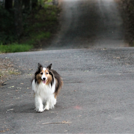 SADIE by Patti Westberry - Animals - Dogs Running ( sadie, collie, canine, dog, pet,  )