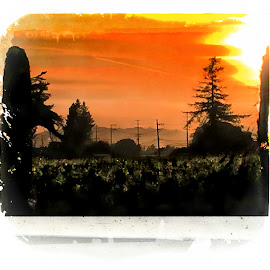 Sunset in the Vines by Leslie Hunziker - Instagram & Mobile iPhone ( vineyard, vines, sunset, trees, landscape )