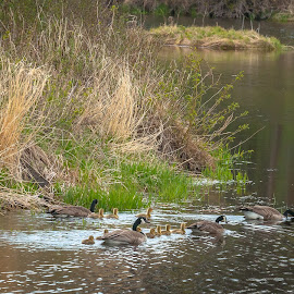 Extended Family by Garnie Ross - Animals Birds ( water, bird, stream, nature, canada goose, geese, spring, pond, river )