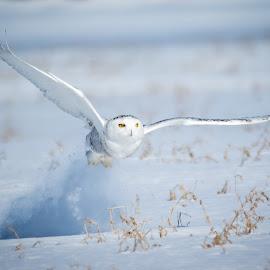 by Jocelyn Rastel-Lafond - Animals Birds ( oiseau, bird, winter, snow, owl, harfang, snowy owl )