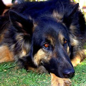 Waiting by Lian van den Heever - Animals - Dogs Portraits ( female, german shepherd, black,  )