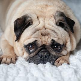 Sleepy Pug by Tanya Greene - Animals - Dogs Portraits ( laying down, pug, sleepy, brown, dog, fawn )