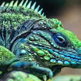 This Iguana Is Watching You by Judy Rosanno - Animals Reptiles ( lizard, colorful, iguana, san antonio zoo, reptile, animal,  )