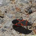 Small Milkweed Bug (mature)