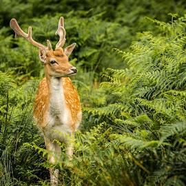 Looks like Rein Deer by Jon Pearson - Animals Other Mammals (  )