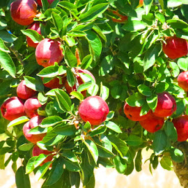 Ripe Red Apples by Rita Goebert - Nature Up Close Trees & Bushes ( apples; red; ripe apples; harvest time; home garden; )