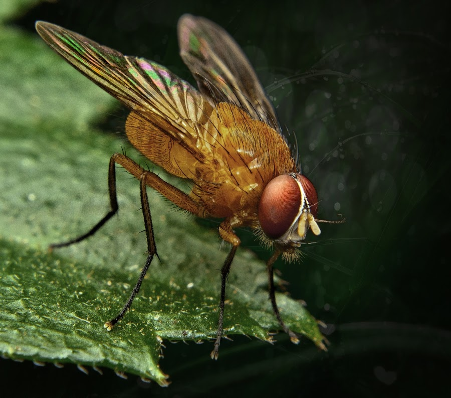 Fruitfly by Jun Santos - Animals Insects & Spiders ( macro, nature, fly, insect, animal )