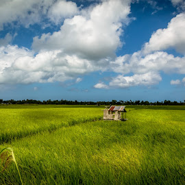 Rice Fields by Ted Khiong Liew - Landscapes Prairies, Meadows & Fields ( sky, green, cloud, trees, rice fields, golden )