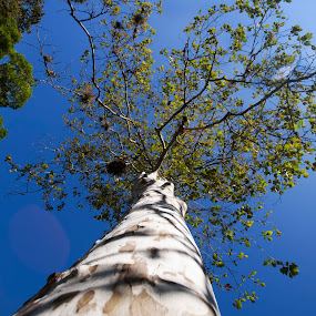 Alder tree by Cristobal Garciaferro Rubio - Nature Up Close Trees & Bushes ( blue sky, alder, alder tree, leaf, leaves )