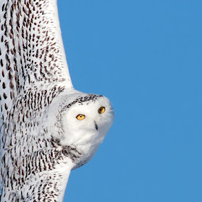 snowy owl peeking in by Rachel Bilodeau - Animals Birds ( snowy owl )