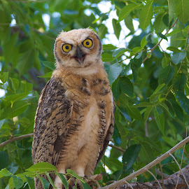 Young Great Horned Owl by Jolie Gordon - Animals Birds ( owl, great horned owl )