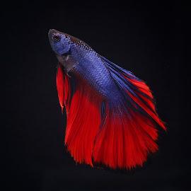 by Bernard Tjandra - Animals Fish