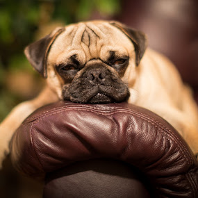 Sleepy! by Bill Killillay - Animals - Dogs Portraits ( relaxed, bujo, tired, puppy, sleepy, dog, cute, pug )