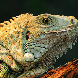 Iguane femelle by Gérard CHATENET - Animals Reptiles