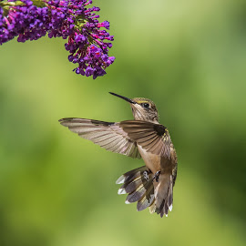 Hold On One Second, by Roy Walter - Animals Birds ( bird, hummingbird, wildlife, garden, animal )