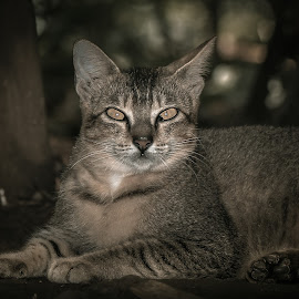 by Ica Stones - Animals - Cats Portraits ( cat, night )
