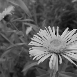 Цветя by Georgi Kolev - Black & White Flowers & Plants ( треви., цветя., време., поляна., листа. )