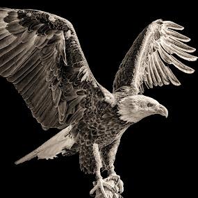 by Judy Rosanno - Black & White Animals ( birds of prey, february 28th 2018, kerrville renaissance festival,  )
