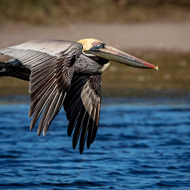 Pelican in flight by Debbie Quick - Animals Birds ( debbie quick, nature, florida, pelican, nature up close, natures best shots, debs creative images, national geographic, fort de soto, st. petersburg, wildlife photography, bird in flight, animal photography, bird photography, bird, beach, animal, wild, nature photography, wildlife )