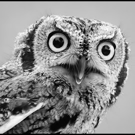 Screech Owl by Dave Lipchen - Black & White Animals ( screech owl )