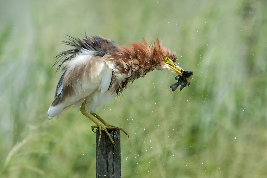 Chinese Pond-Heron by Ken Cheung - Animals Birds ( bird, chinese pond-heron, catch )