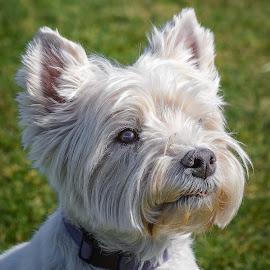 Westie by Dave Lipchen - Animals - Dogs Portraits ( westie )