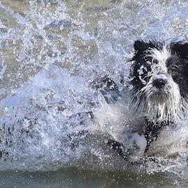 Splash Down! by Gareth Evans - Animals - Dogs Playing ( water, collie, splash, dog, bearded collie )