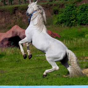 Great White Horse by Cristobal Garciaferro Rubio - Animals Horses