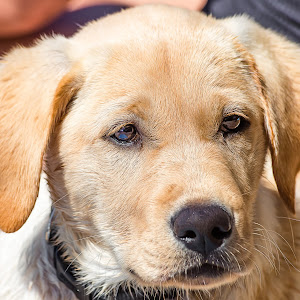 Yellow Lab-31.jpg