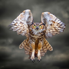 Great Horned Owl In Flight by Sandy Scott - Animals Birds ( clouds, birds of prey, animals, nature, owl, wildlife, raptor, birds, skies, great horned owl, predators, eyes )
