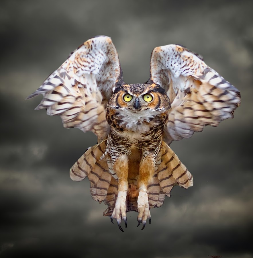 Great Horned Owl In Flight by Sandy Scott - Animals Birds ( clouds, birds of prey, animals, nature, owl, wildlife, raptor, birds, skies, great horned owl, predators, eyes,  )