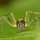 Tailed Jumper