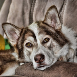 Preston by Deborah Russenberger - Animals - Dogs Portraits ( border collie, husky )