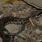 Western Himalayan Pit Viper