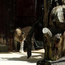 by Jon Crow - Animals Lions, Tigers & Big Cats