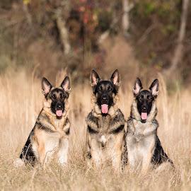 Three Muskateers by Jennifer Cessna - Animals - Dogs Portraits ( meadow, dog portrait, german shepherd, gsd, portrait )