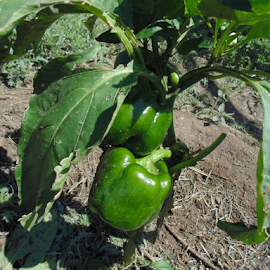 Green Bell Peppers by SHARON ARMIJO - Nature Up Close Gardens & Produce ( orchards, bell peppers, plants, gardens, produce )