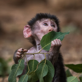 Baby baboon by Tzvika Stein - Animals Other Mammals ( baboon, play, baby, leaves, monkey )