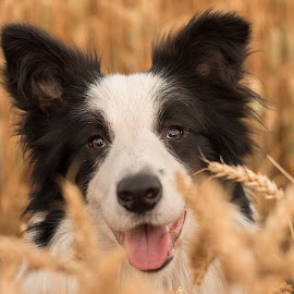 Zohran by Marjan Smit - Animals - Dogs Portraits ( border, blij, happy, loyal, loyalty, yellow, pup, hond, field, wheat, black and white, grain, dog, border collie )