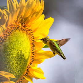 Single Sunflower by Dennis Roscher - Flowers Single Flower ( single flower, hummingbird, sunflower, sunrise, early morning )
